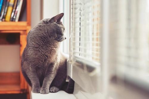 ブラインド越しに外を見る猫