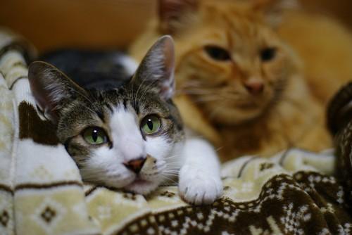 毛布に手を掛けてこちらを見る猫とその後ろの猫