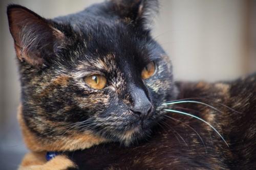 きれいな金茶色の目をしたサビ猫