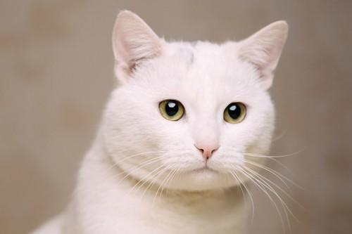 何かを見つめる白猫