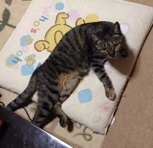 座布団を占領する猫