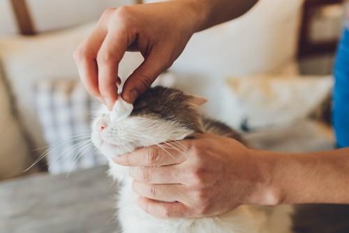 目元をコットンで拭かれている猫