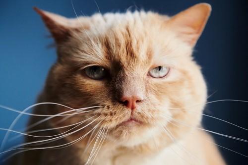 クリーム色の猫のアップ