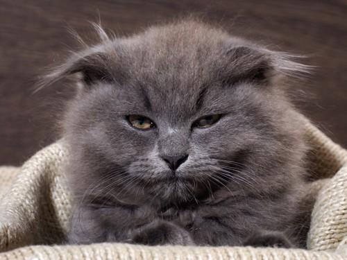 セーターにくるまって眠そうな猫