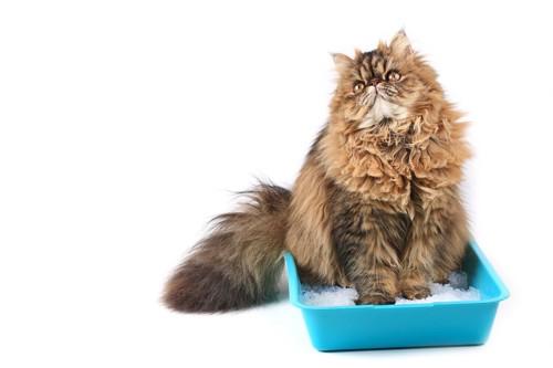 排泄する猫