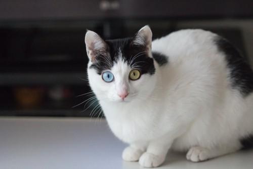 こちらを見つめるオッドアイのブチ猫
