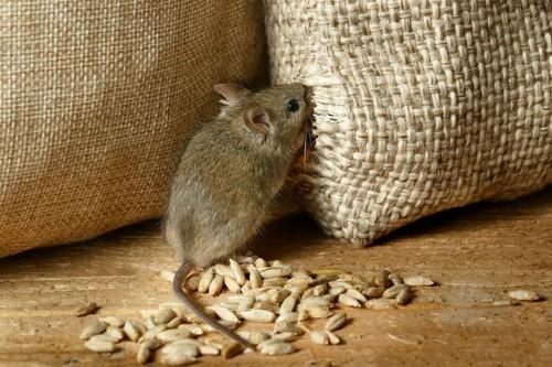 穀物の入った布袋を齧るネズミ