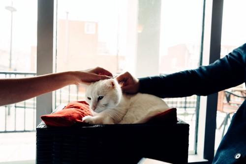 猫に触れる男女の手