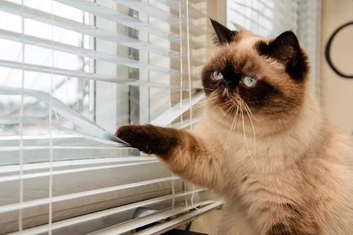 手でブラインドを下げて外を見つめる猫