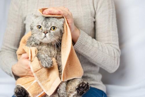 タオルで体を拭かれている猫