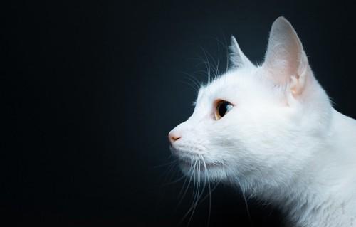 美しい横顔の白猫
