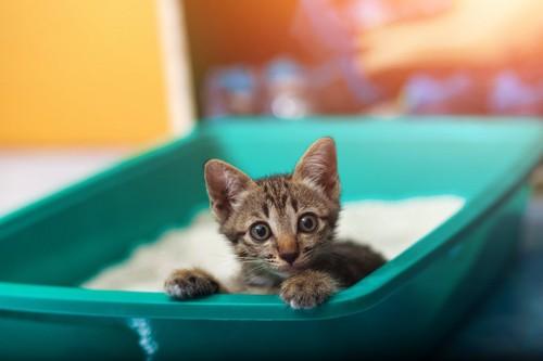 緑の猫用トイレから顔を出す子猫