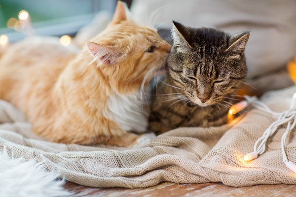 キジ猫をグルーミングをする茶色の猫