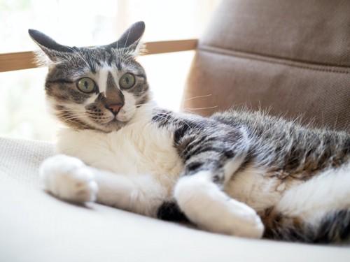ソファーの上でイカ耳になっている猫