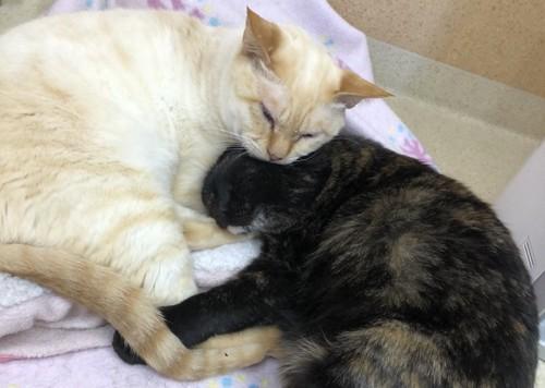 ベージュ猫と寝る黒子