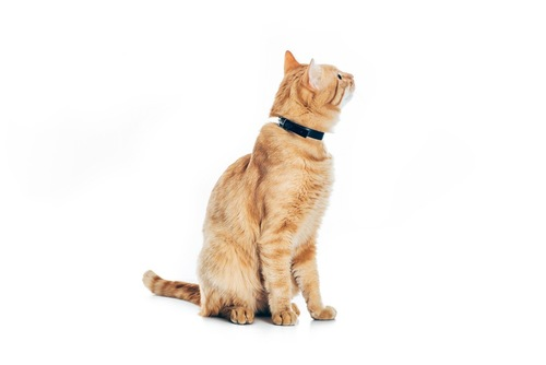 首輪をしている猫
