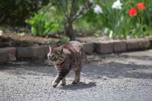 道を歩く猫