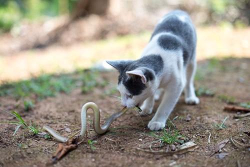 蛇と戦う猫