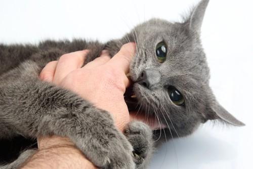 飼い主の手を掴んで噛もうとする猫