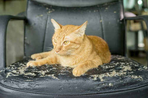 爪とぎの革張り椅子で寛ぐ猫