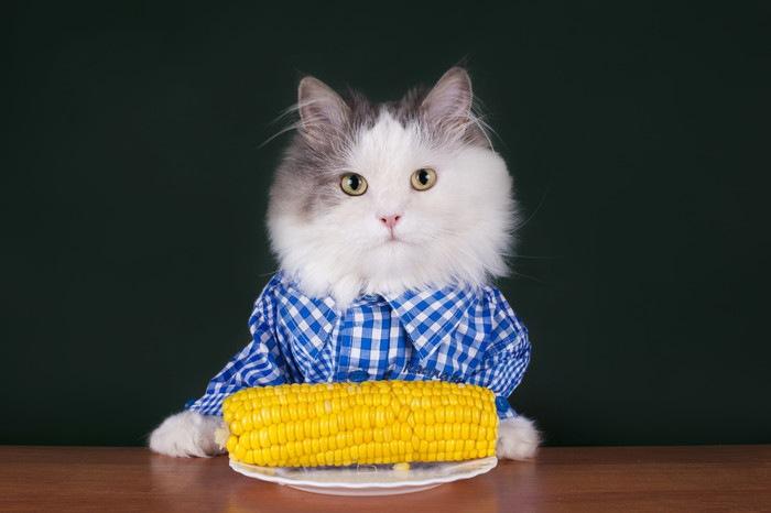 トウモロコシを前にした服着た猫
