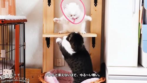 上下でケンカする猫
