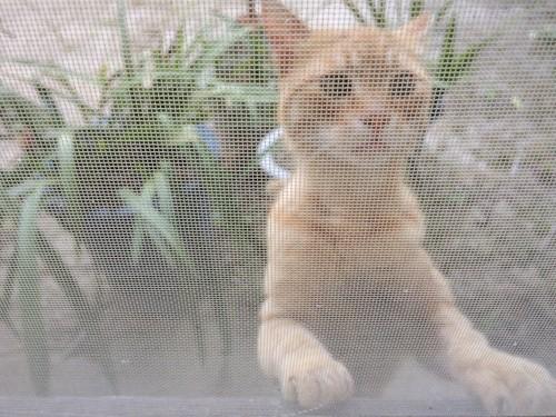 網戸の向こうの猫