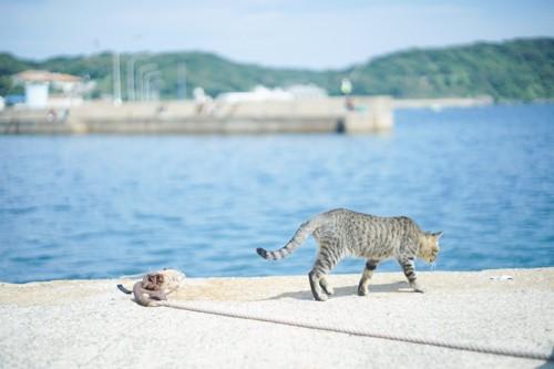 アスファルトを歩く猫