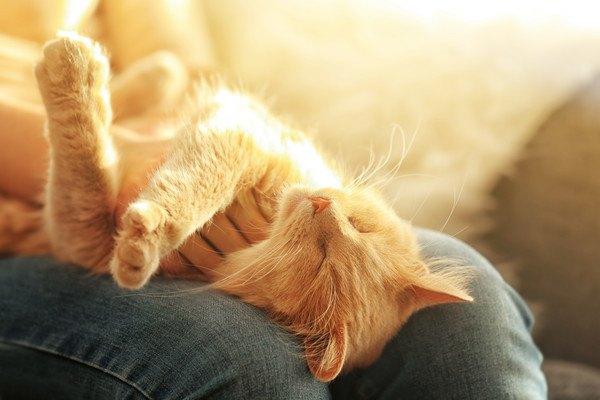 膝の上で人の手を掴む茶色の猫