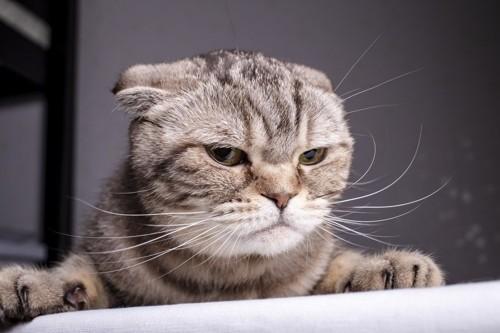 不満そうな顔をしている猫