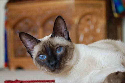 リリアンのシャム猫