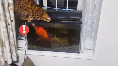 金魚を触る猫