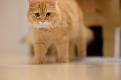 部屋を歩いてパトロールする猫