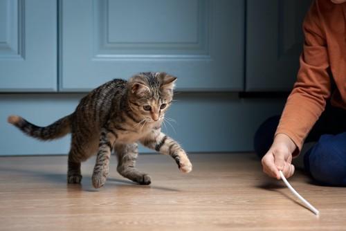 猫じゃらしで飼い主と遊ぶ猫
