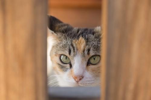 隙間から覗き込む猫