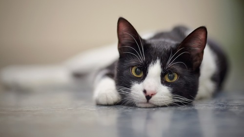 綺麗な瞳のハチワレ猫