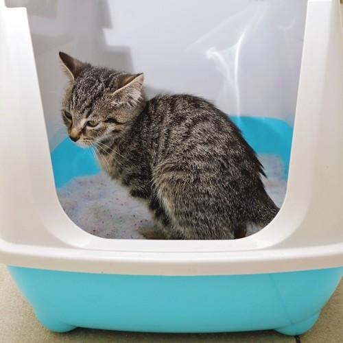 猫用トイレの中でウンチをする猫