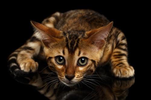 上目遣いのベンガル子猫
