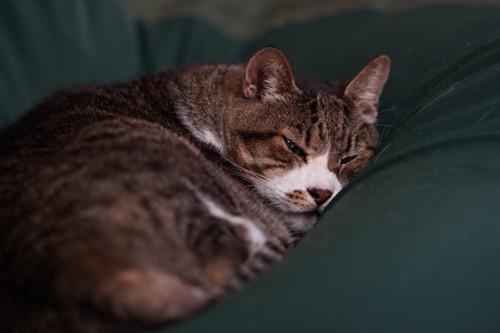 クッションの上で丸くなって寝る猫