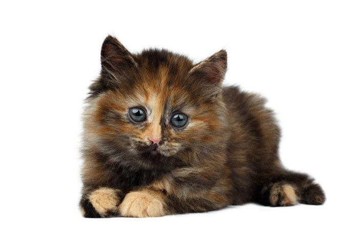 サビ柄猫の子猫