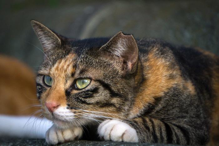 鋭く見つめる猫