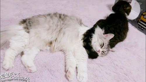 黒い猫のしっぽが首に乗っている長毛猫