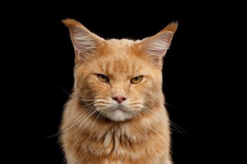 無表情でこちらを見据えている猫