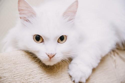 可愛い白猫