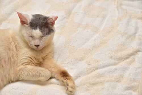 寛ぐ老猫の写真