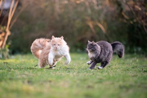 跳ねる茶色とグレーの長毛猫
