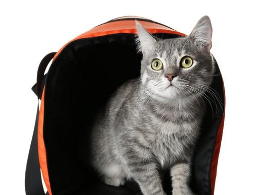 キャリーバッグから出る猫