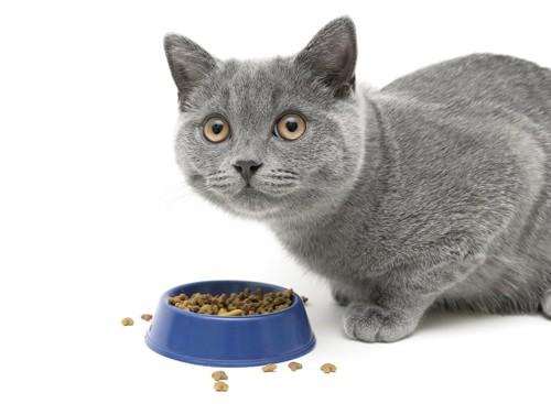 キャットフードを食べるグレーの猫