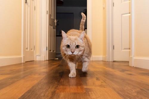 廊下を歩いてくる猫