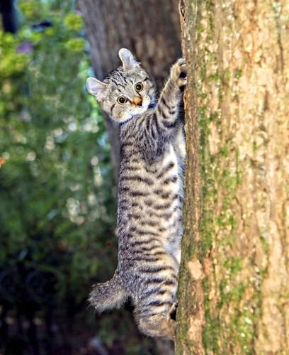 木登りするハイランドリンクス